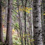I boschi, gli alberi, le Dolomiti Ampezzane e i ravioli di rape rosse e semi di papavero